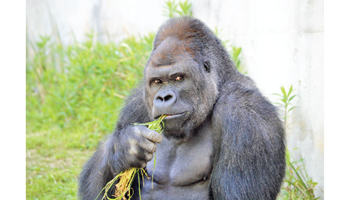 Women flock to Japan zoo to see hunky gorilla | daily-sun.com
