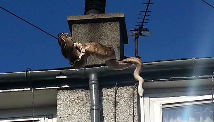 Snake on a wire: photos show boa constrictor's escape attempt
