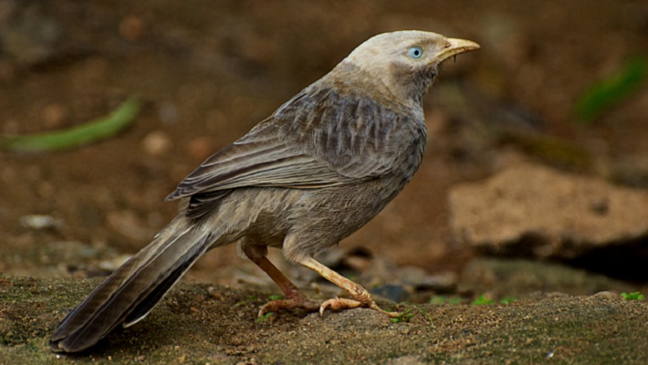 'Babbler' birds use primitive language: study