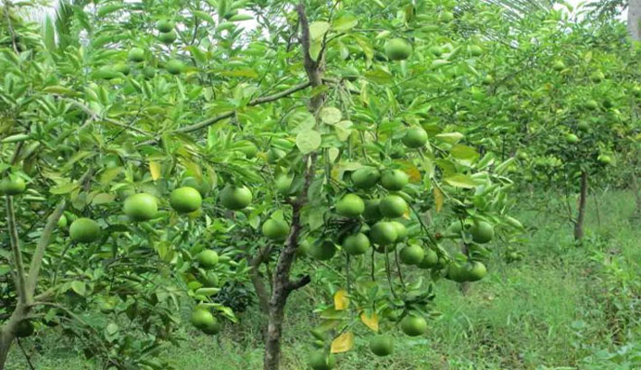 Gloomy future for guava in Pirojpur | 2015-08-15