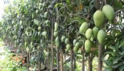 Bumper mango yield brings smile to growers in CHT