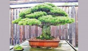 <p>390-year-old bonsai tree survived an atomic bomb</p>