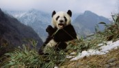 Panda guts not suited to digesting bamboo