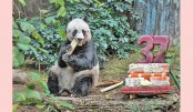 <p>Giant panda becomes oldest ever</p>