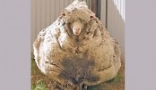 <p>Urgent plea to shear overgrown sheep</p>