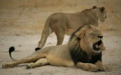 Zimbabwe says another American killed a Lion in an unauthorised hunt