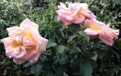 English rose thought to be extinct found growing in a hedge in Gloucestershire