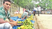Thakurgaon witnessed bumper mango production